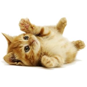 Qué-Comen-los-Gatos