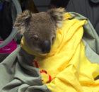 191224131506-koalahospital01-super-tease